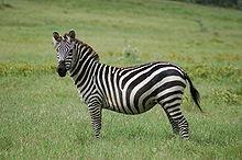 https://upload.wikimedia.org/wikipedia/commons/thumb/6/60/Equus_quagga.jpg/220px-Equus_quagga.jpg