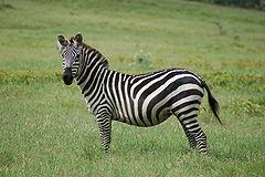 Zebra stepowa