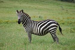 zebra de grant wikipédia a enciclopédia livre