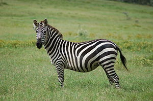 Grant's zebra - At the Hell's Gate National Park, Kenya