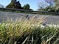 Eragrostis pilosa sl87.jpg