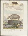 Ericulus spinosus - 1700-1880 - Print - Iconographia Zoologica - Special Collections University of Amsterdam - UBA01 IZ20900039.tif