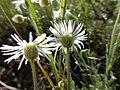 Erigeron pumilus (27587164135).jpg