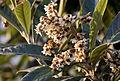 Eriobotrya japonica - Loquat 06.jpg