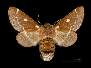 Eriogaster lanestris - Image: Eriogaster lanestris MHNT CUT 2011 0 446 female Ozoir la Ferrière dos
