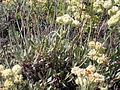 Eriogonum umbellatum umbellatum (4396332086).jpg