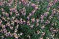 Erysimum wallflower in RHS Garden Hyde Hall Dry Garden, Essex, England.jpg