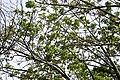 Erythrina caffra-(Monreale) 1643.jpg