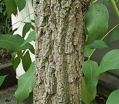 Erythrina crista-galli 02 ies.jpg
