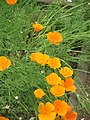 Eschscholzia californica01.jpg