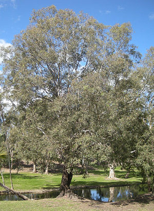Eucalyptus coolabah - Image: Eucalyptus coolabah and creek