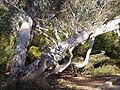 Eucalyptus mannifera 03.jpg
