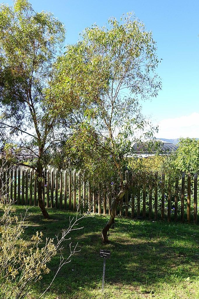 File eucalyptus salmonophloia jard n bot nico de for Barcelona jardin botanico