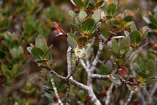 <i>Eucalyptus vernicosa</i> species of plant
