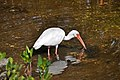 Eudocimus albus (American white ibis) (Sanibel Island, Florida, USA) 2.jpg