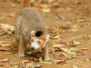 Crowned lemur - Male