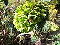 Euphorbia characias subsp. wulfenii in Jardin des Plantes 06.JPG