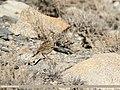 Eurasian Skylark (Alauda arvensis) (38624489411).jpg