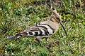 Eurasian hoopoe (Upupa epops) 05.jpg