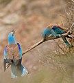 European Rollers (Coracias garrulus) couple duetting ... (35701526101).jpg