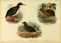Extinctbirds1907 P26 Hypotaenidia pacifica0343.png