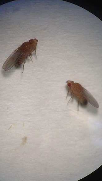 PAX6 - Fruitflies without the PAX6 gene have no eyes
