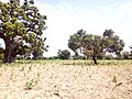 FARMS OF THE INHABITANTS IN THE FALGORE FOREST KANO STATE (3).jpg