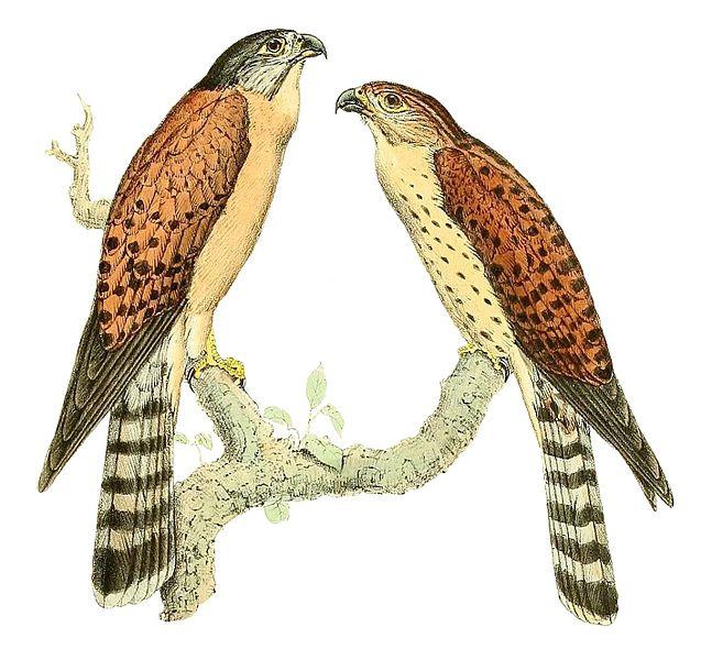 File:Falco araea 1868.jpg