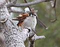 Falco sparverius North Andros Bahamas.jpg