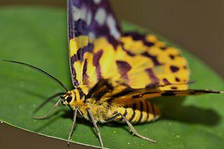 Sưu tập Bộ cánh vẩy 2 - Page 25 320px-False_Tiger_Moth_%28Dysphania_militaris%29_%286112836064%29