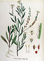 Farsetia incana — Flora Batava — Volume v17.jpg