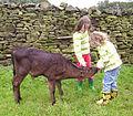 Feeding a calf.JPG