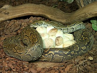 Broodiness - A brooding female python.