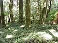 Fern groundcover in Whirinaki Forest.jpg