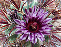 Ferocactus recurvus, a Devil's Tongue Barrel Cactus (9330444754).jpg