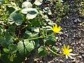 Ficaria verna (subsp. verna) sl17.jpg