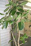 Ficus altissima1