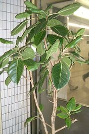 Ficus altissima1.jpg