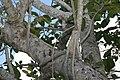 Ficus benghalensis 2zz.jpg