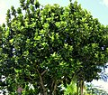 Ficus lyrata (Árbol lira) (14394247887).jpg