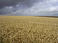 Field of ripe wheat, west of Stonehenge - geograph.org.uk - 32262.jpg