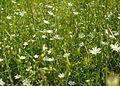 Field of white flowers.jpg