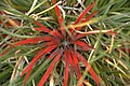 Fiery red plant, unknown to me - panoramio.jpg