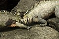 Fighting Marine Iguanas (6519185111).jpg