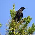 Fish Crow (14498804089).jpg