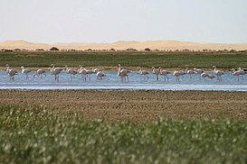 Flamingo in Khenifiss National Park Tarfaya Morocco.jpg