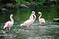 Flamingos @ Hilton Hawaiian Village (5674758612).jpg