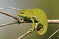 Flap-necked chameleon (Chamaeleo dilepis) female.jpg
