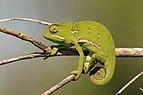 Flap-necked chameleon (Chamaeleo dilepis) female.jpg