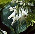 Fleur blanche et bourdon.jpg